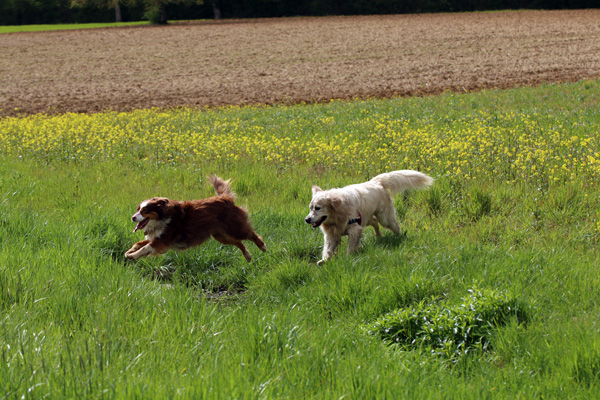 Berger australien et golden retriever